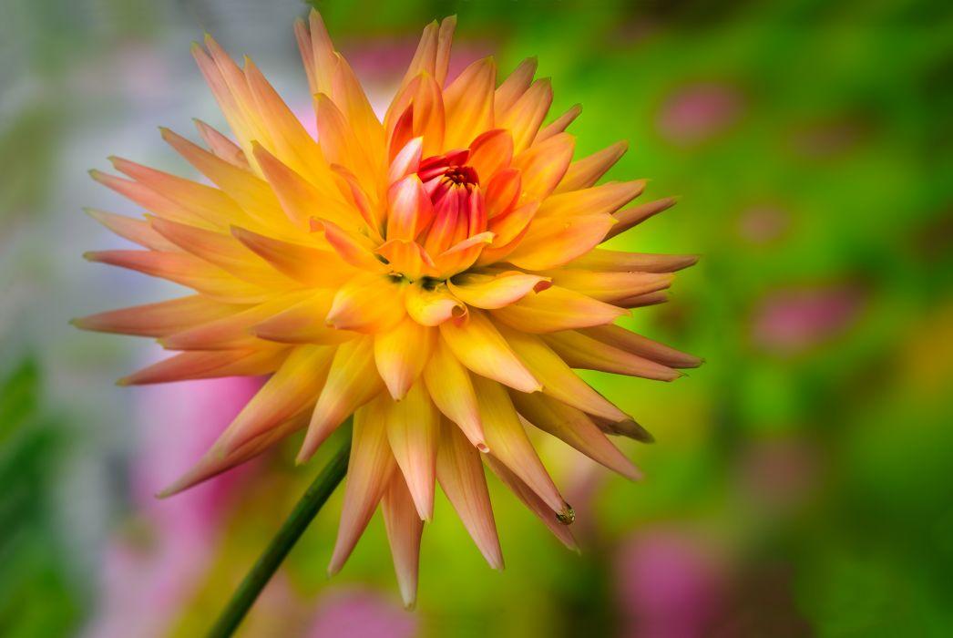 dahlia flower wallpaper