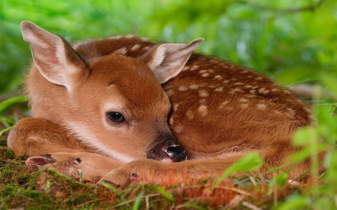 deer fawn lies grass wallpaper