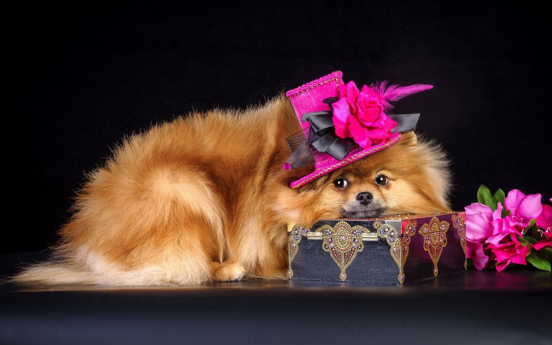 dog hat casket flowers wallpaper