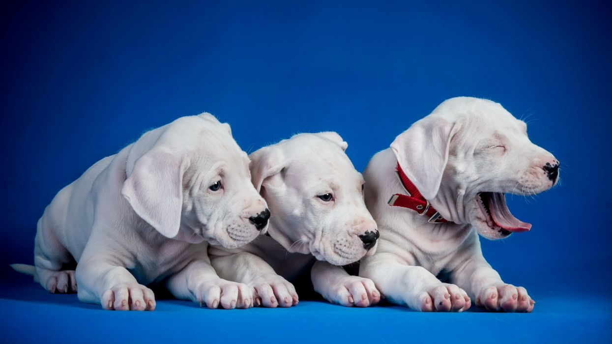 dogs puppies trio wallpaper