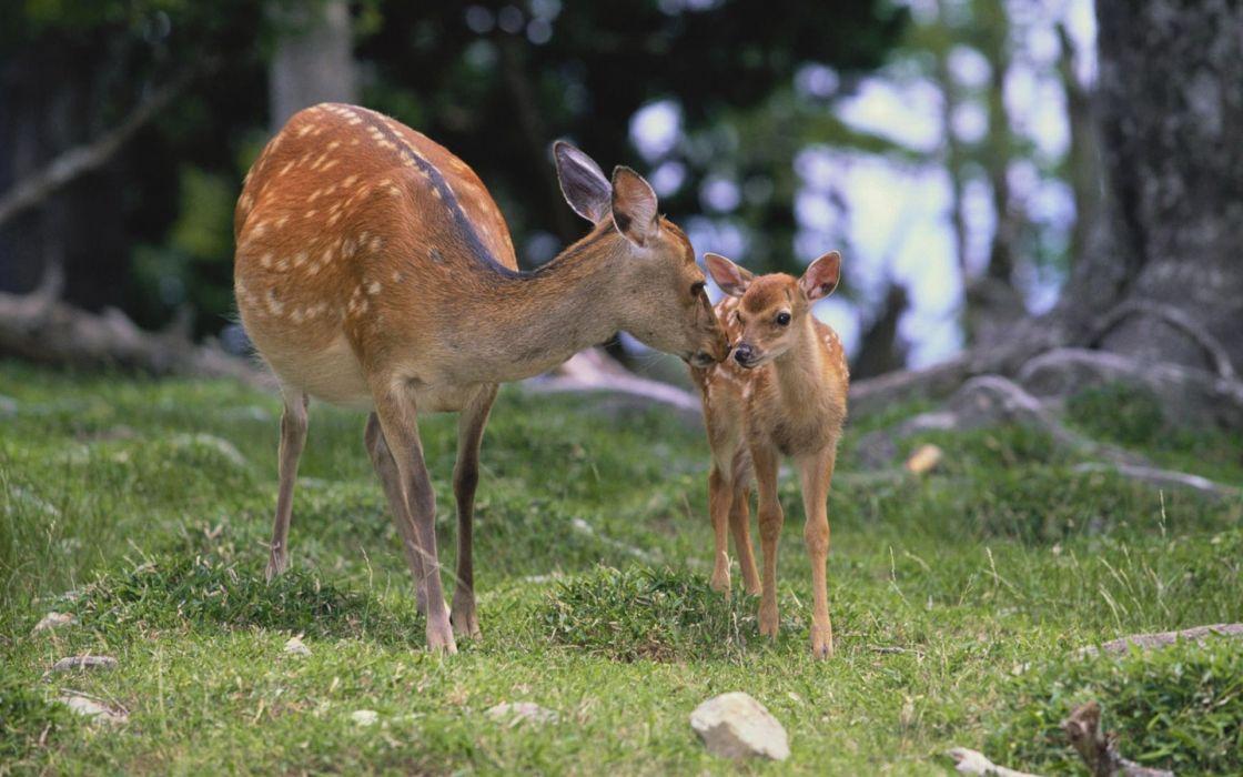 fawn baby deer wallpaper