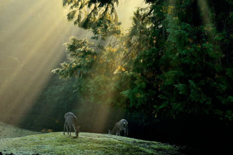 forest trees meadow deer rays solar wallpaper