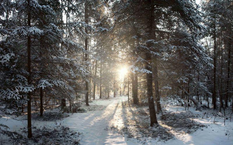 forest trees sun winter landscape wallpaper