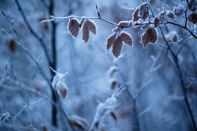 frost leaves twigs winter nature wallpaper