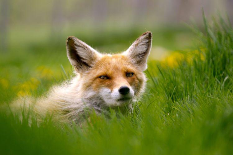 grass eyes fox wallpaper