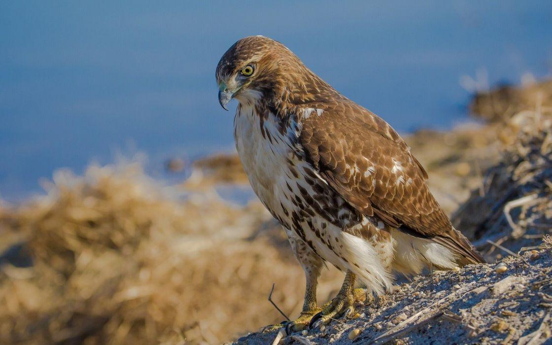 hawk bird wallpaper