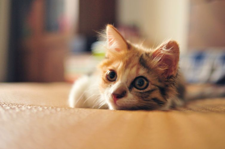 kitten 7 wallpaper
