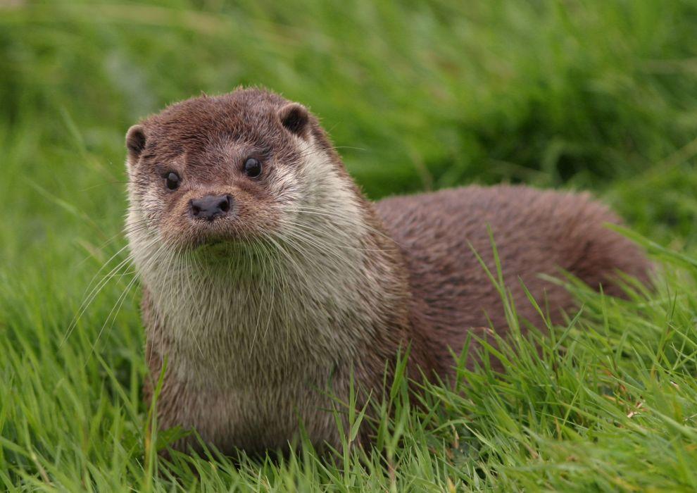 otter animal grass wallpaper