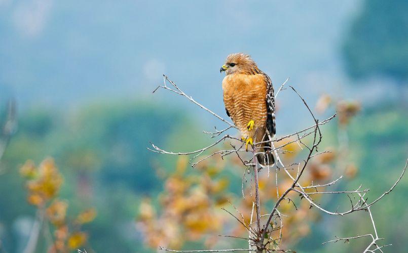 predator bird branch background hawk wallpaper