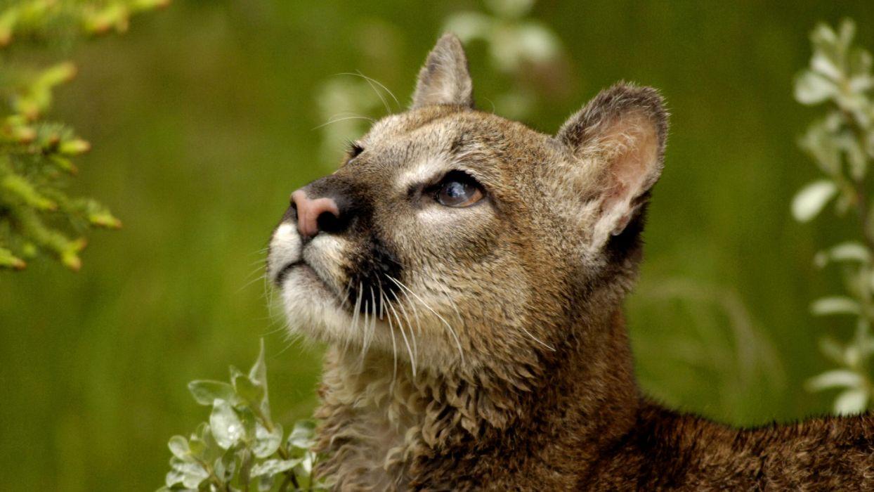 Puma Cougar Puma Teen wallpaper