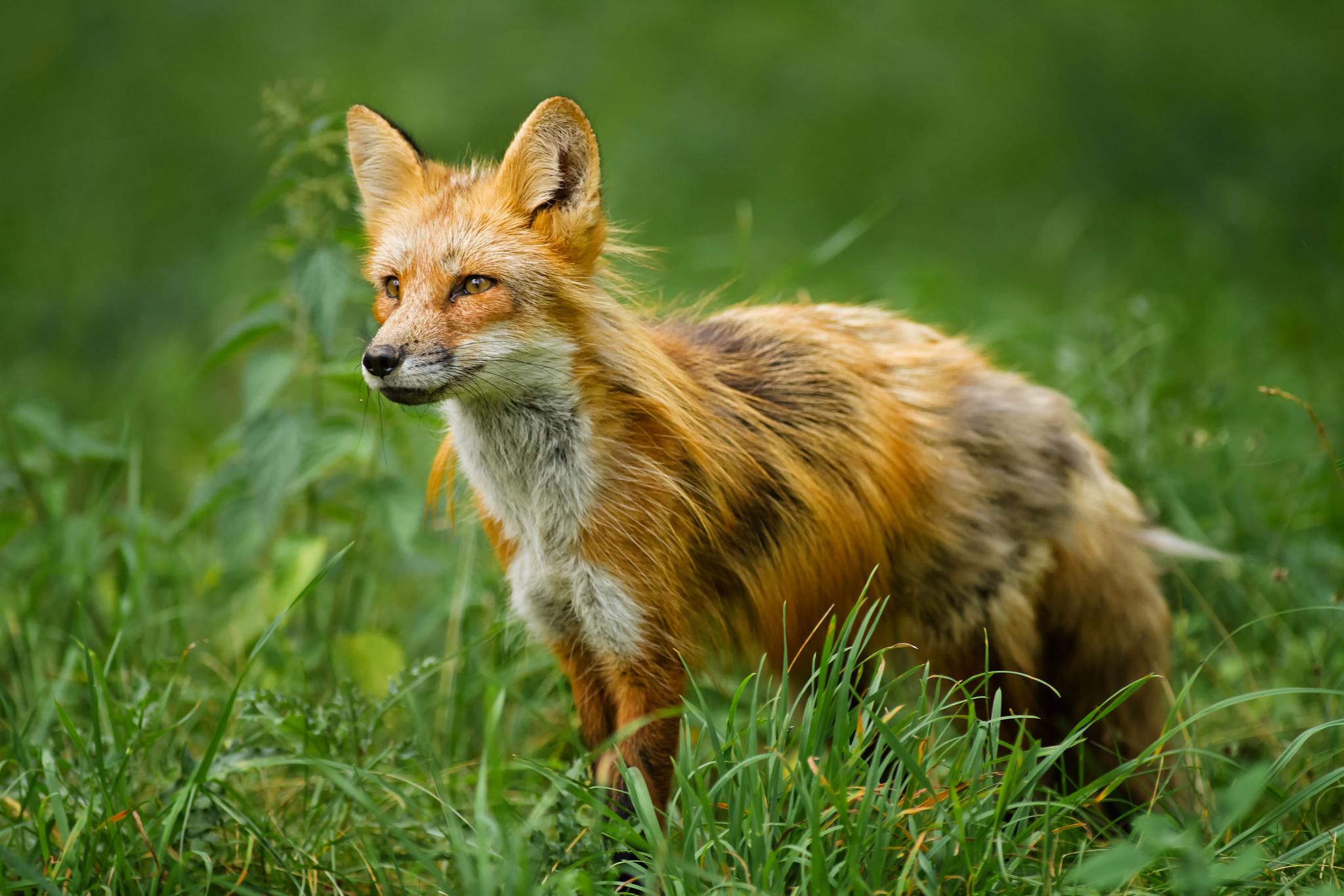 Download Wallpapers Download 2790x2547 Animals Grass: Red Grass Fox Wallpaper
