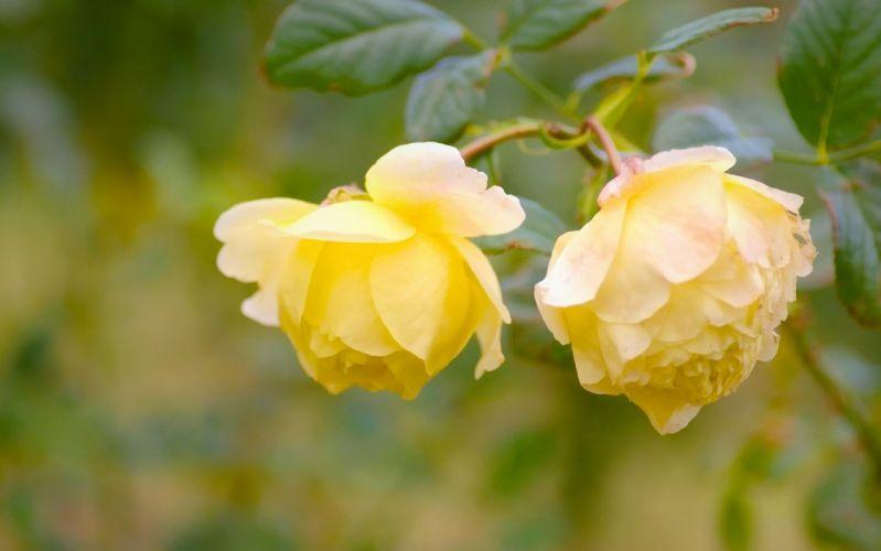 roses yellow wallpaper