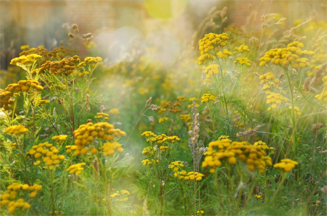 summer tansy yellow field grass flowers wallpaper
