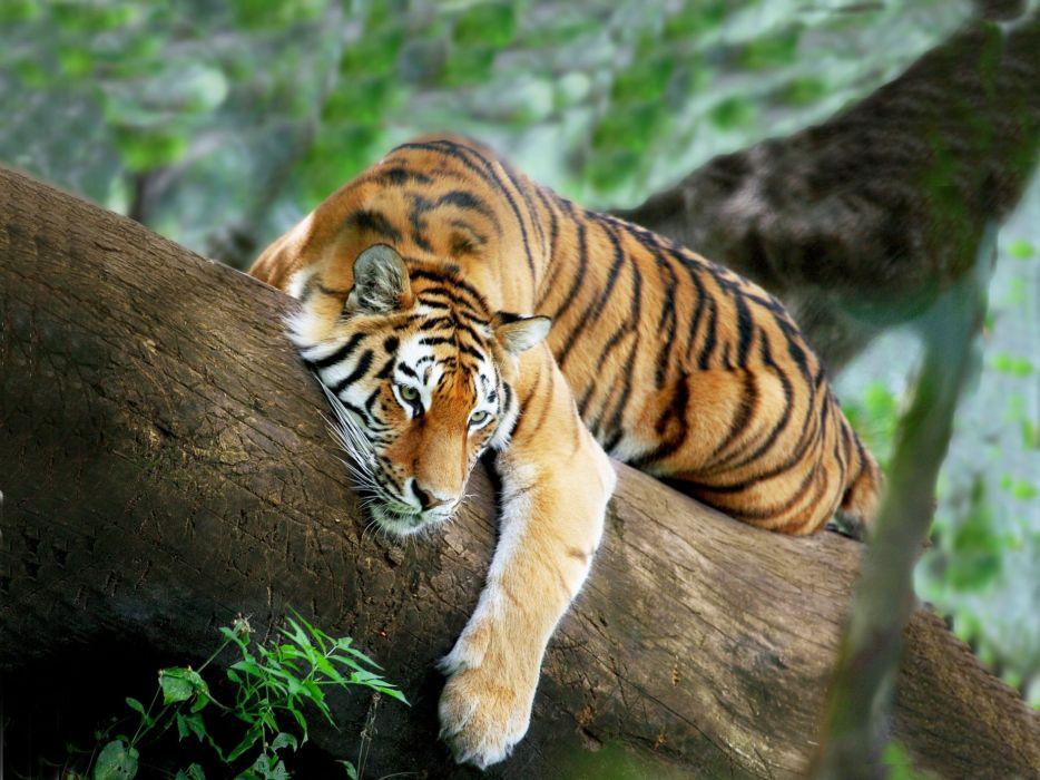 tiger tree lies rests wallpaper