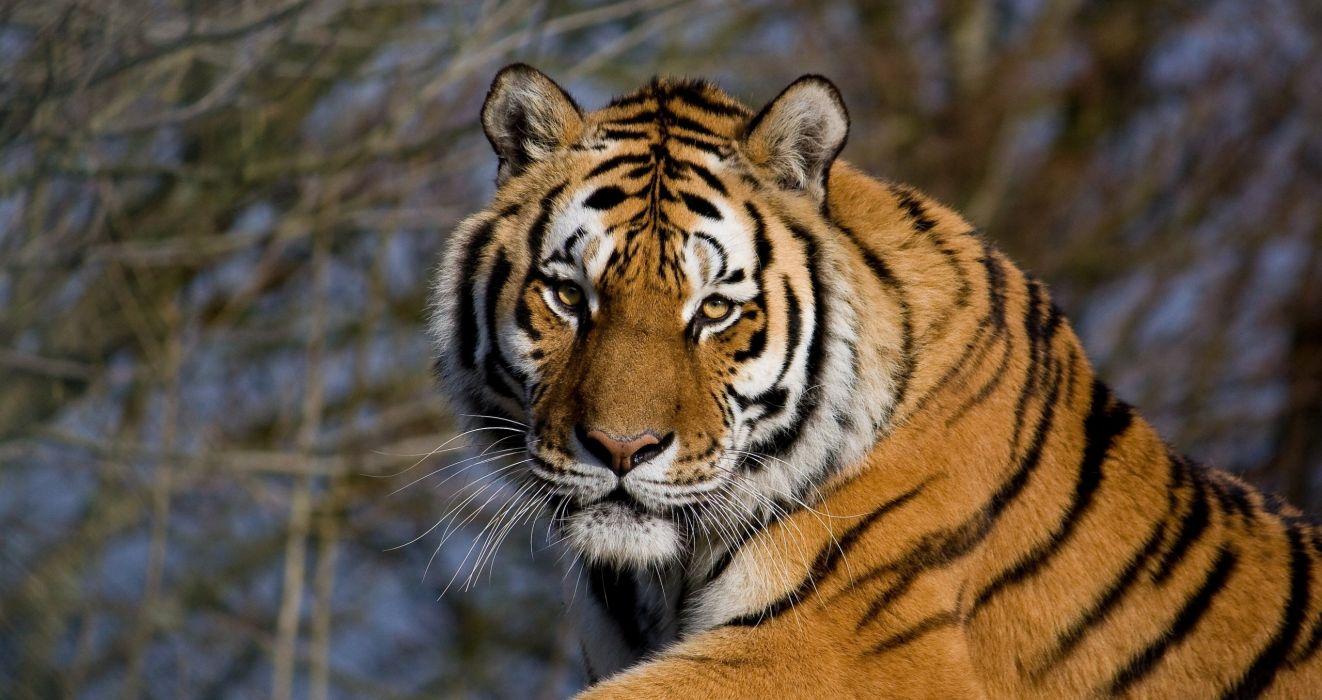 tiger wild cat muzzle vacation wallpaper