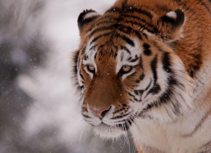 tiger wild cat muzzle wallpaper