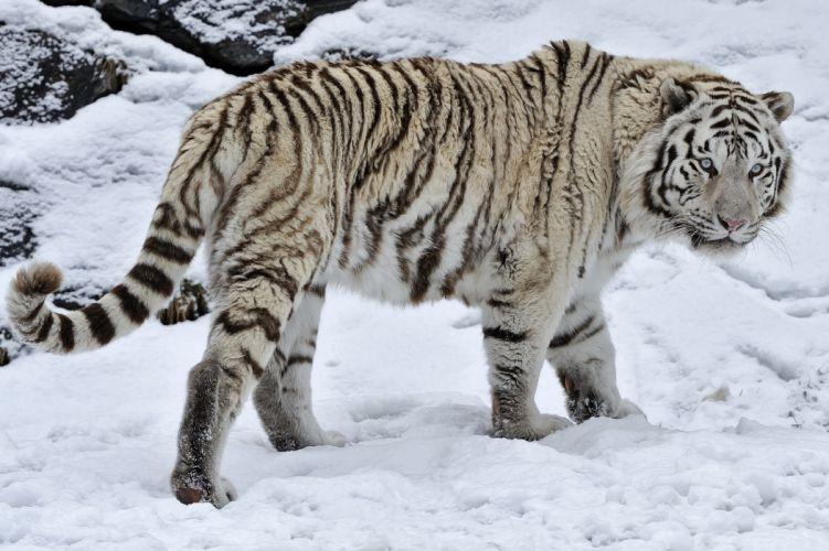 white tiger tiger wild cat snow winter wallpaper