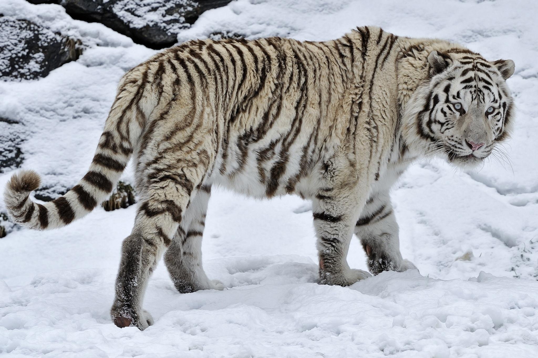 tiger wild snow - photo #2