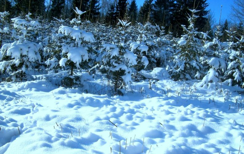 winter trees trees nature wallpaper