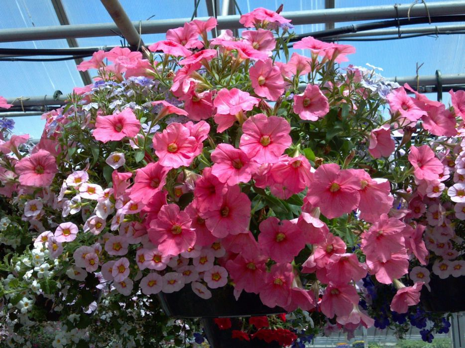 Calibrachoa Many Pink color Flowers wallpaper
