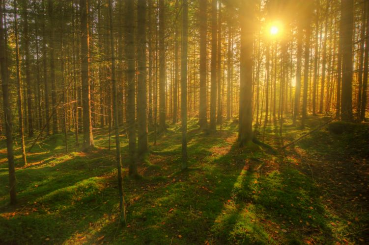 Forests Trees Sun Rays of light wallpaper