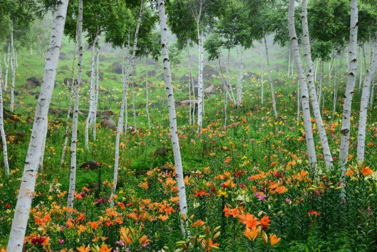 Lilies Birch Trees Nature wallpaper