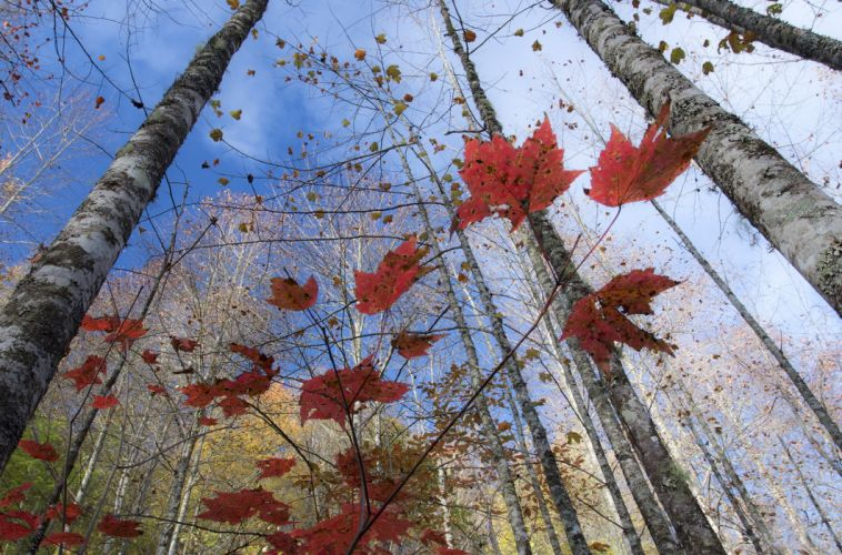 Nature Trees Birch Foliage autumn wallpaper