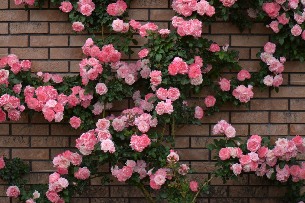 Roses Many Pink color Flowers wallpaper