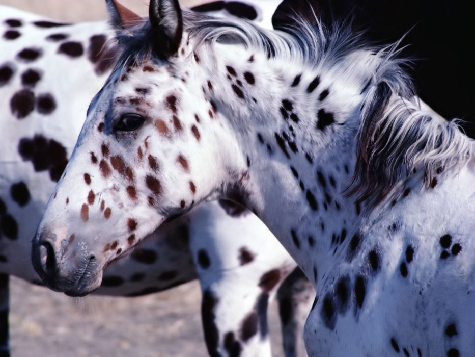 animals horses spotted wallpaper