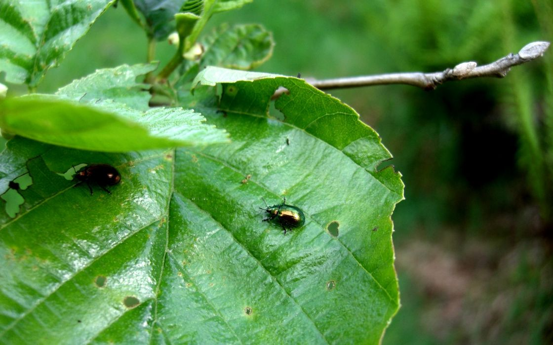 nature insects leaves beetles macro HDR photography depth of field branches wallpaper