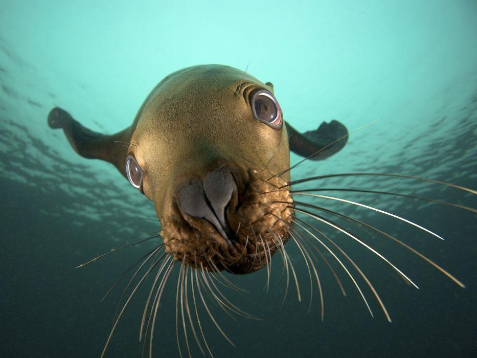 animals CGI British Columbia sea lions underwater sea wallpaper