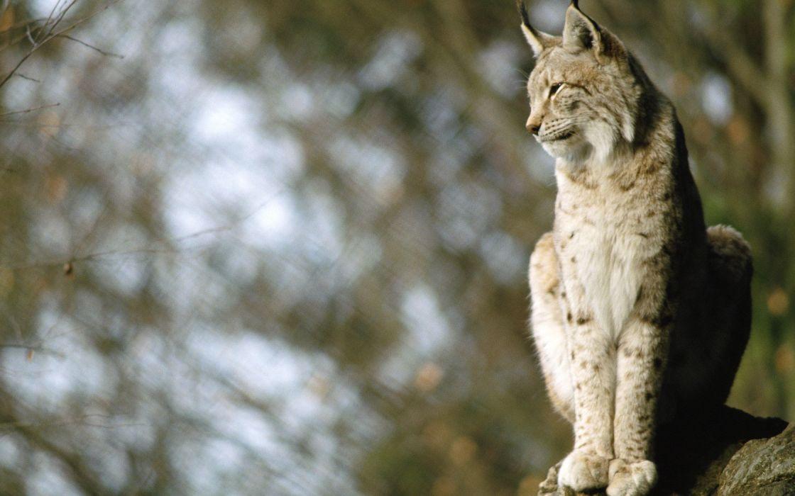 nature animals lynx blurred background wallpaper