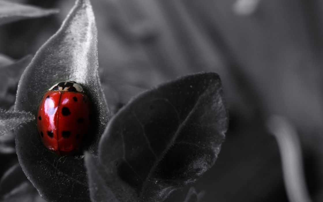 Bug macro selective coloring ladybirds wallpaper
