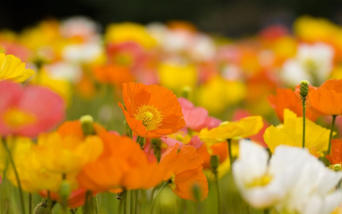 flowers poppies blurred background wallpaper