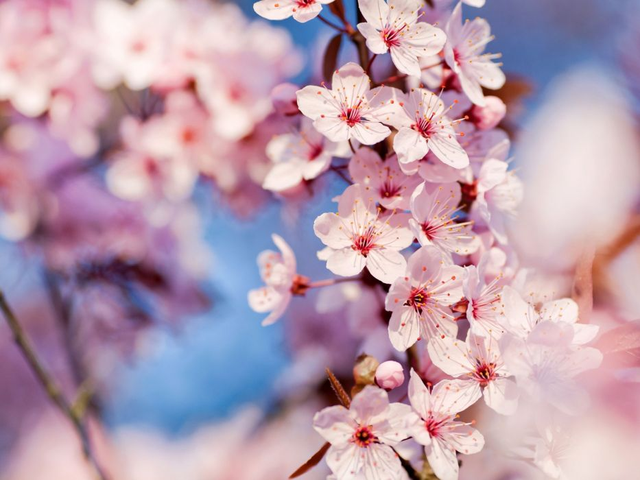 nature cherry blossoms flowers macro pink flowers focused wallpaper