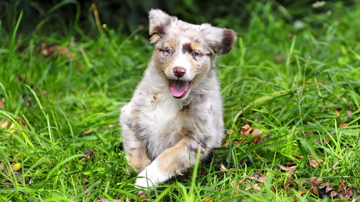 nature animals dogs puppies australian shepherds wallpaper