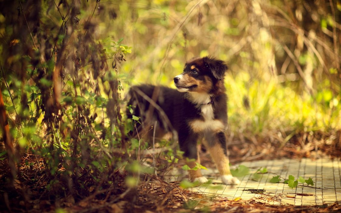 nature animals leaves dogs depth of field pets australian shepherds wallpaper