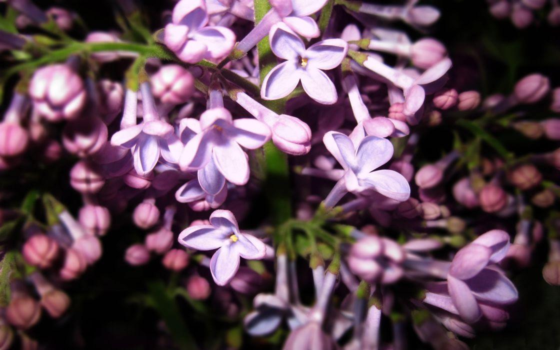 flowers lilac purple flowers wallpaper