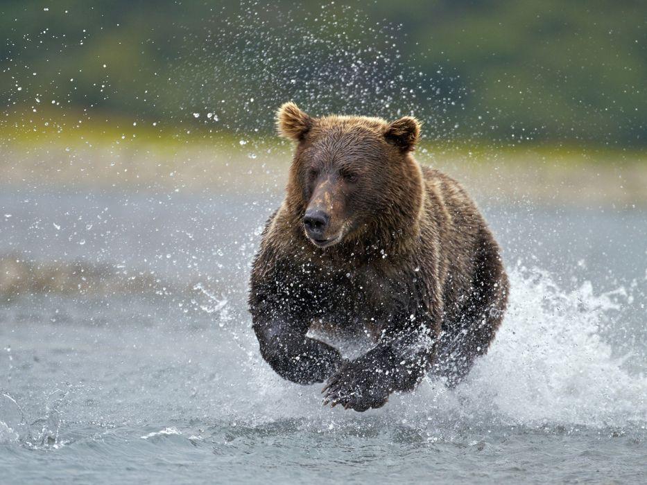 Alaska fishing National Park brown bear wallpaper