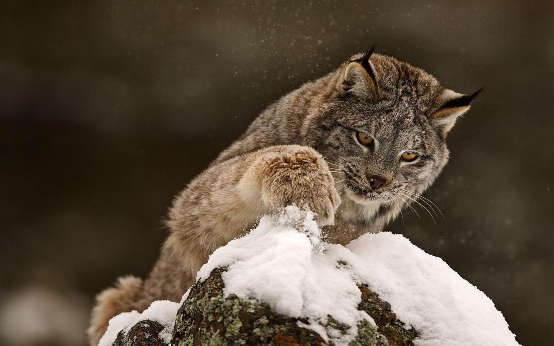 snow animals lynx rocks wallpaper