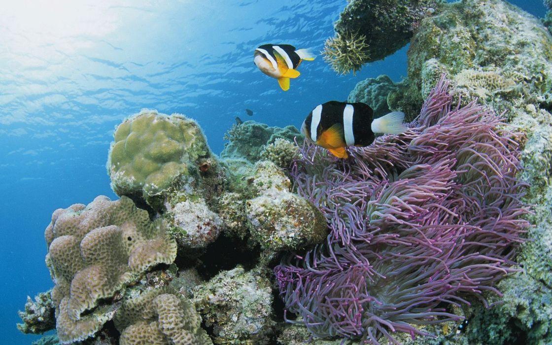 Japan fish sea anemones sea wallpaper