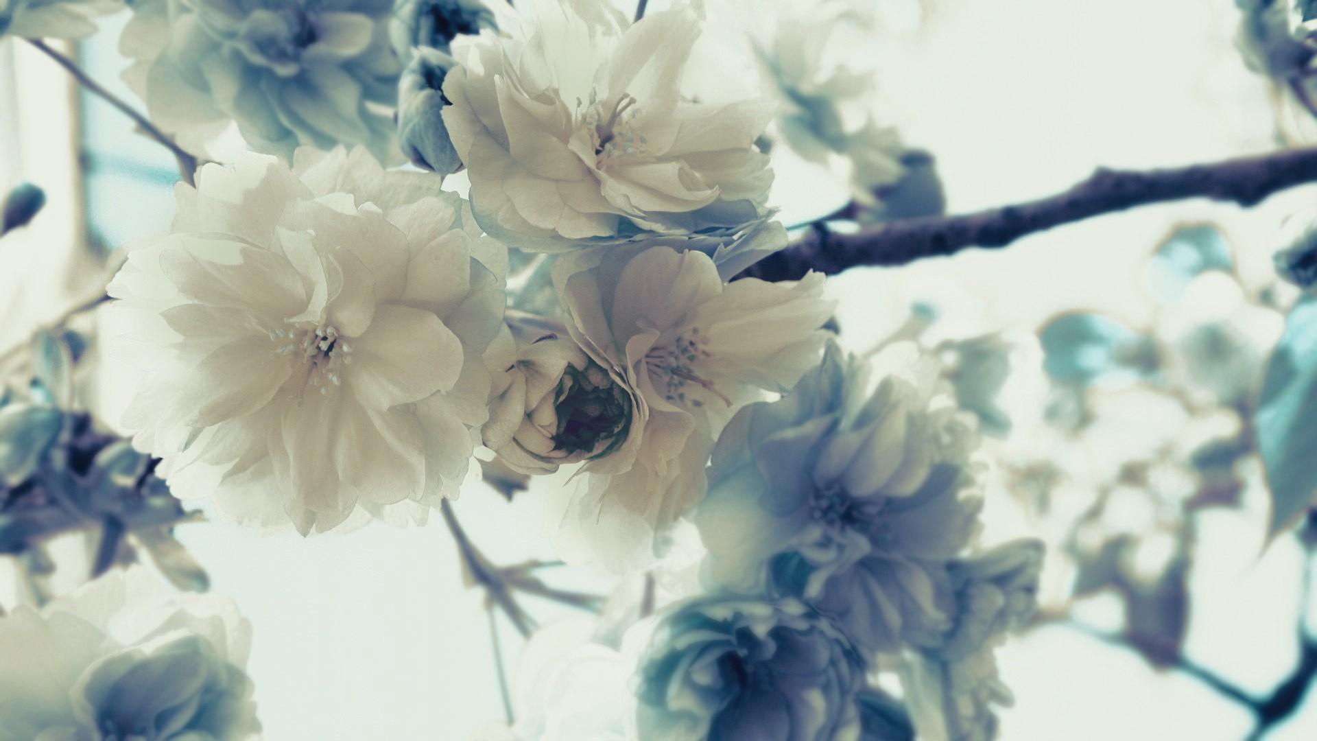 white flowers blossom branches white background white