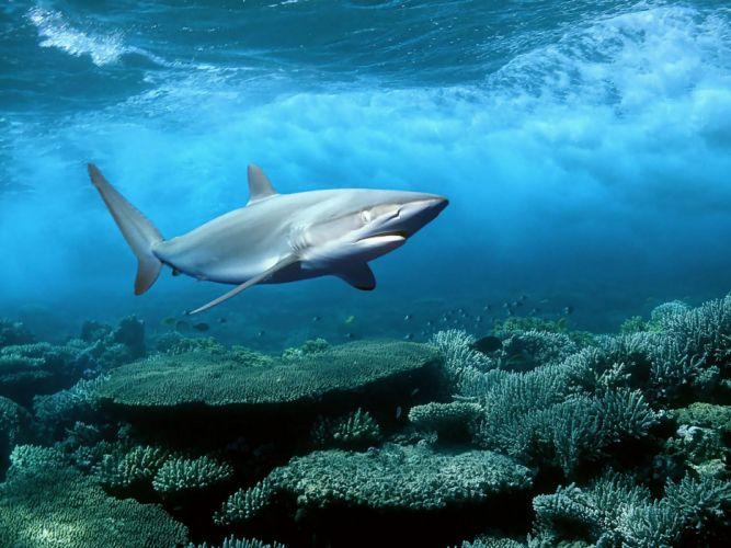 ocean nature animals sharks underwater wallpaper