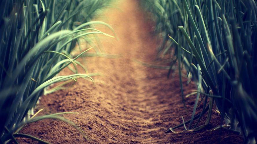 vegetables fields paths plants farm Shallot wallpaper