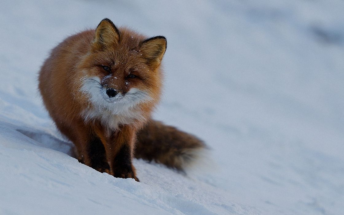 animals wildlife foxes wallpaper