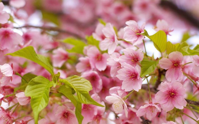 nature flowers pink flowers wallpaper