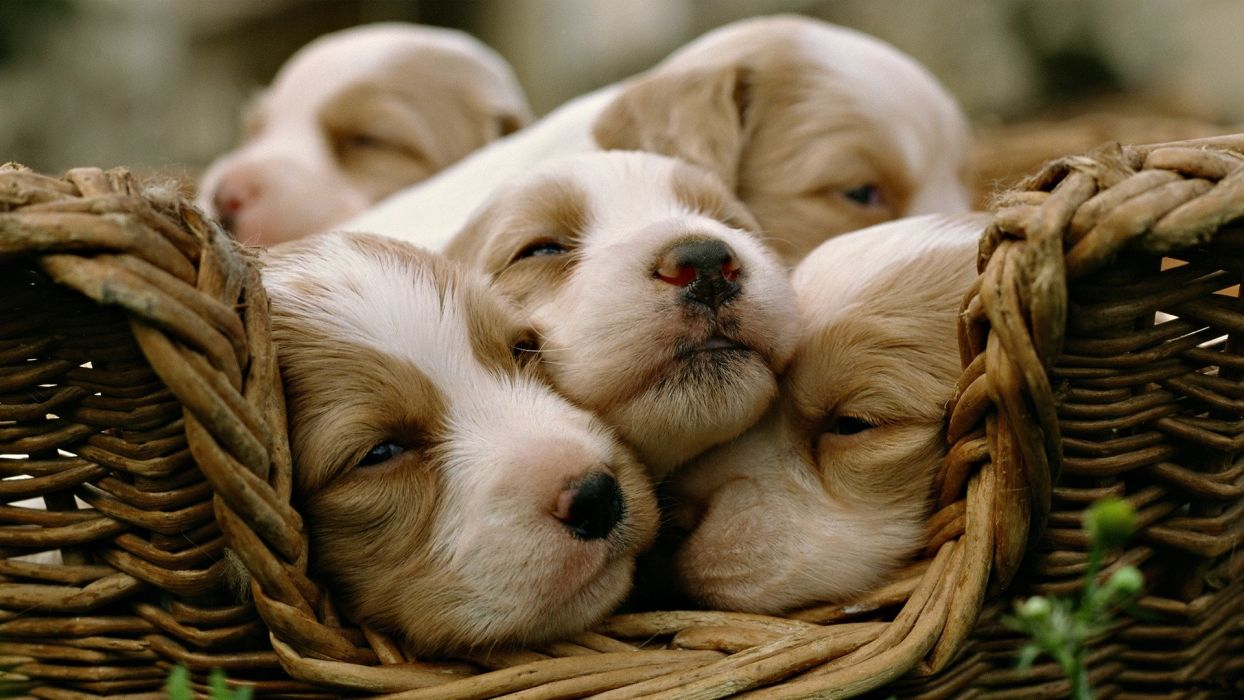 animals dogs puppies sleeping baskets wallpaper