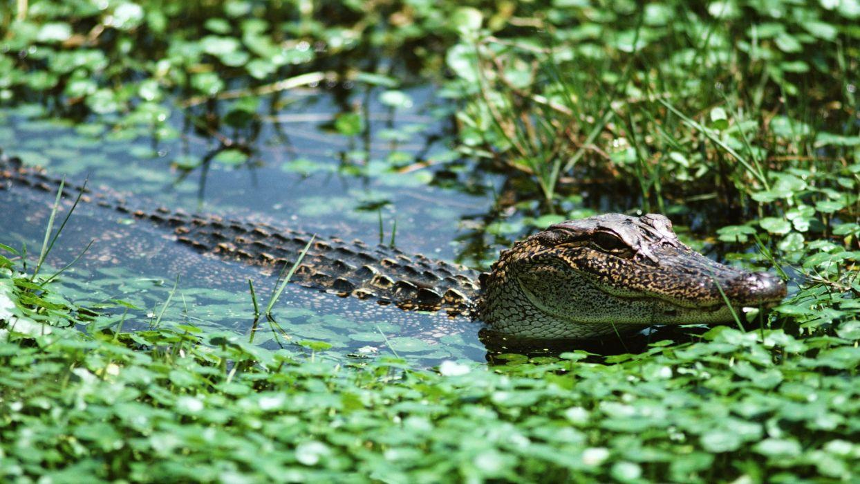crocodiles lakes wallpaper
