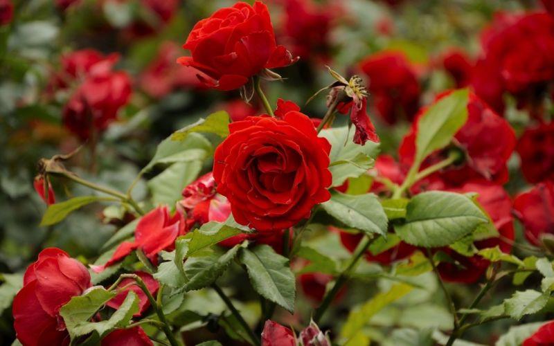 flowers roses red rose wallpaper