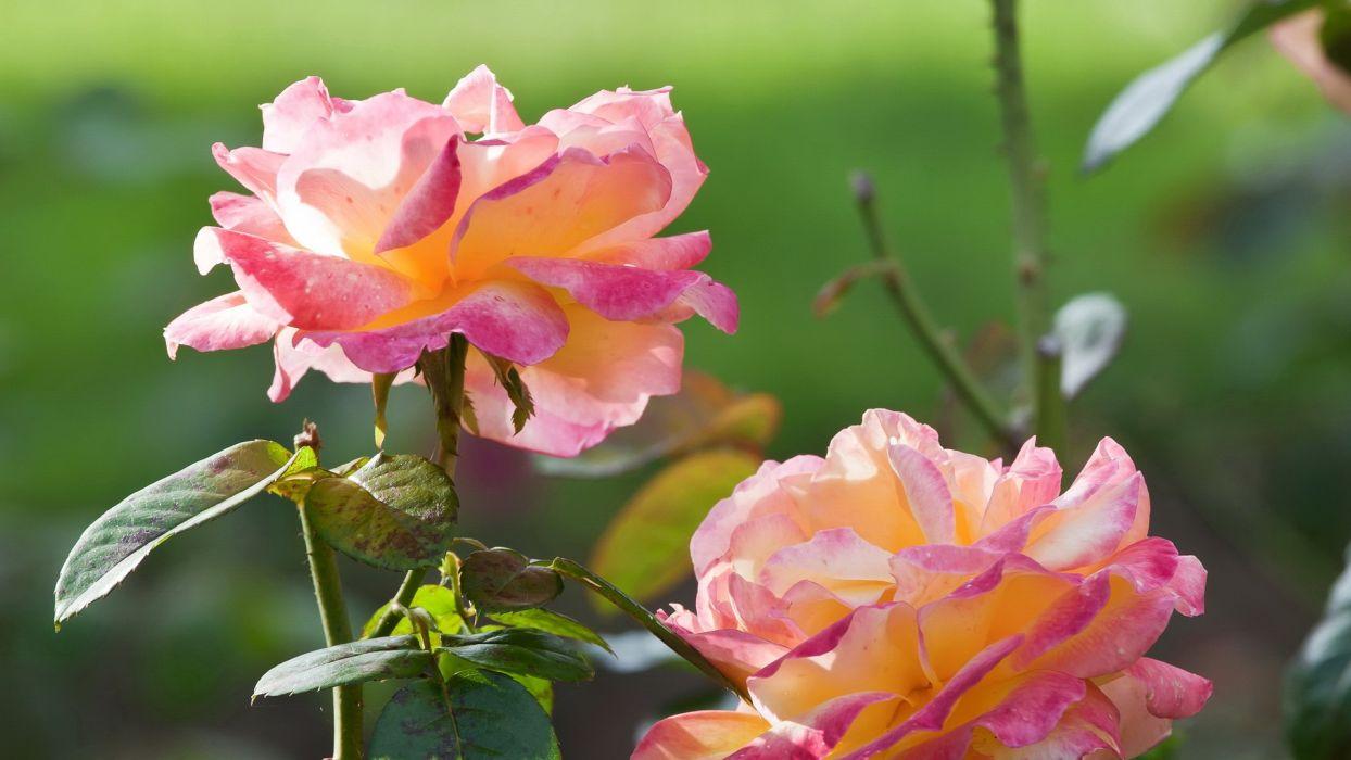 nature flowers roses wallpaper